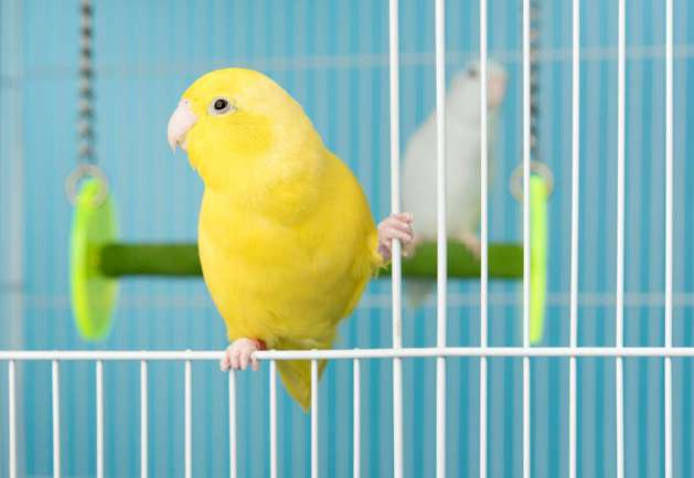 Parrot sitting on edge of cage.