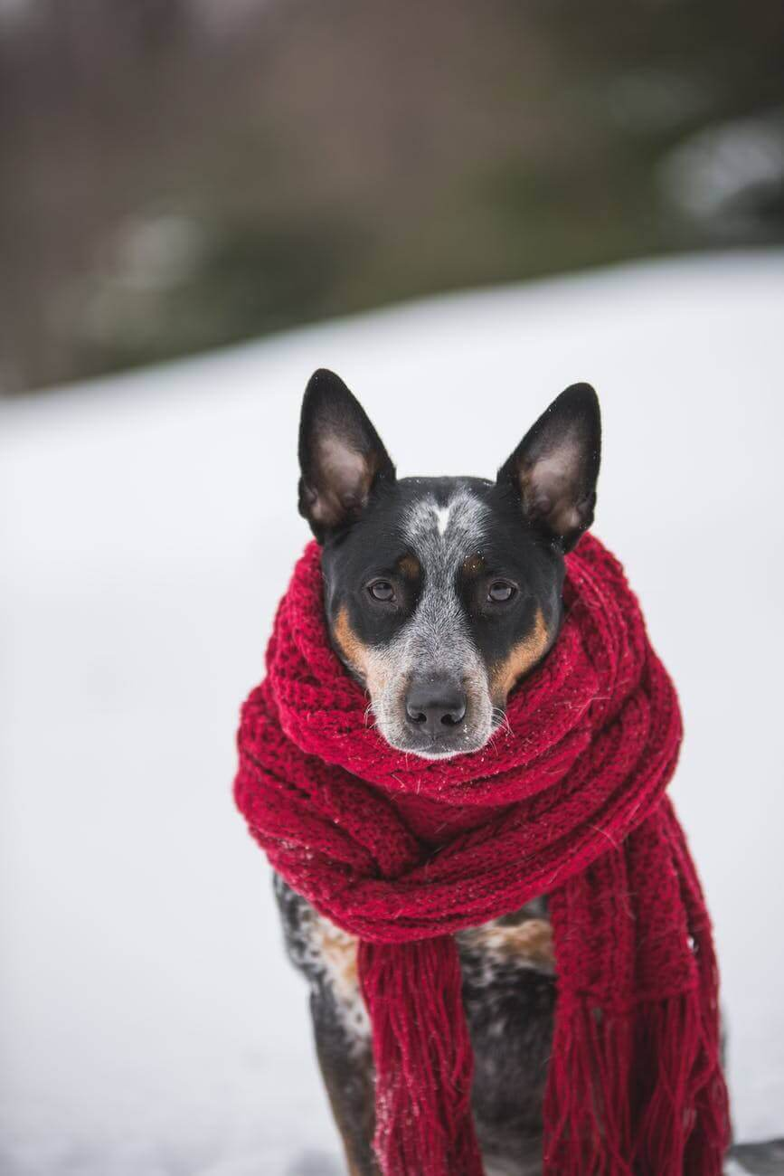 Dog with scarf outside.